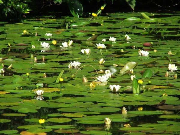 Waterlilies by frank61