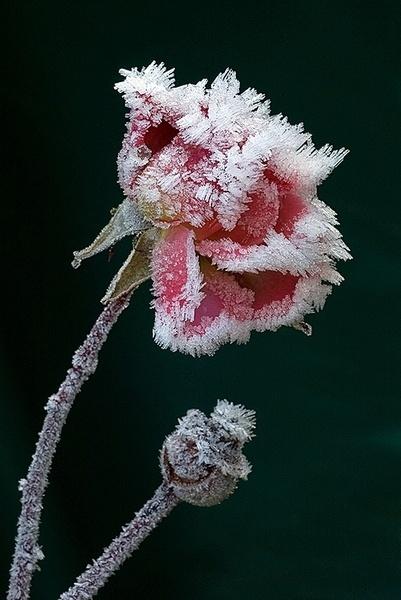 Last Rose of Summer by y-i-man