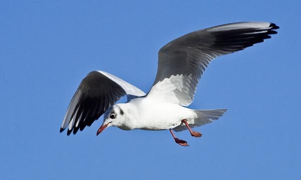 Blackheaded Gull in flight by davewilliamson