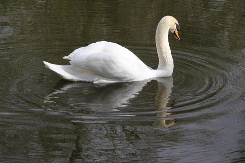 Swan Lake by tabby