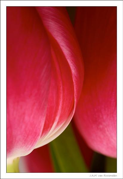 Pink Tulip by webjam
