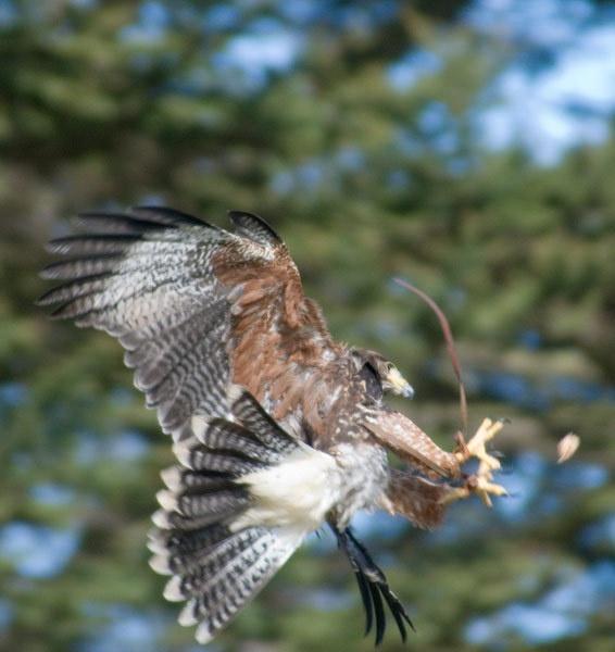 Indian Eagle by big bill