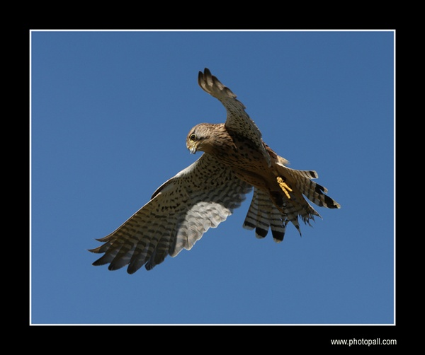 Falcon In Flight by jamil