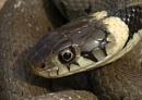 Grass snake by Newtman