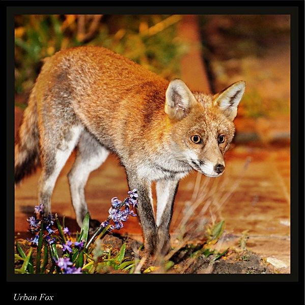 Urban Fox by Gezina