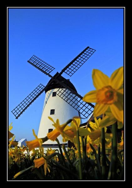 Lytham Windmill and Daffodils by AEasthope67