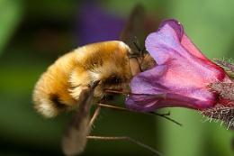 Feeding Beefly