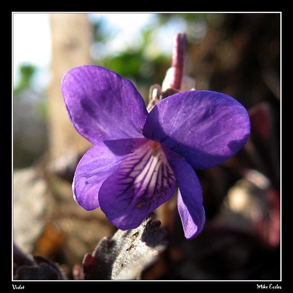 Violet by oldgreyheron