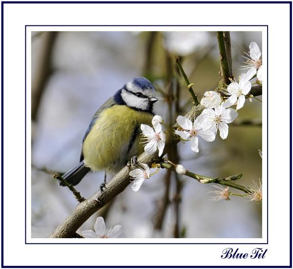Blue Tit by Maiwand