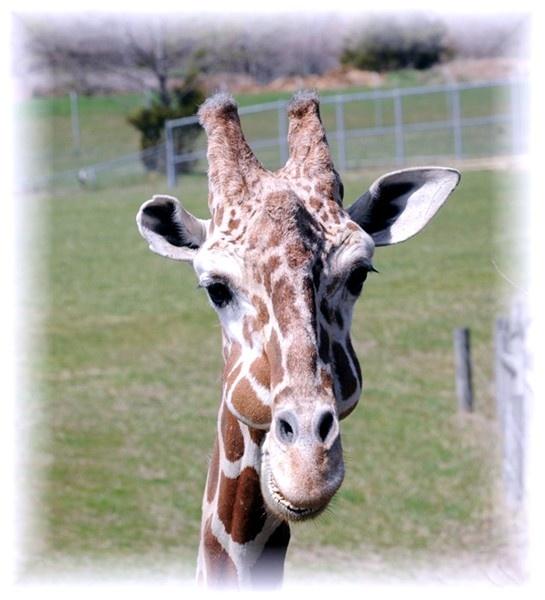 giraffe by WaltP