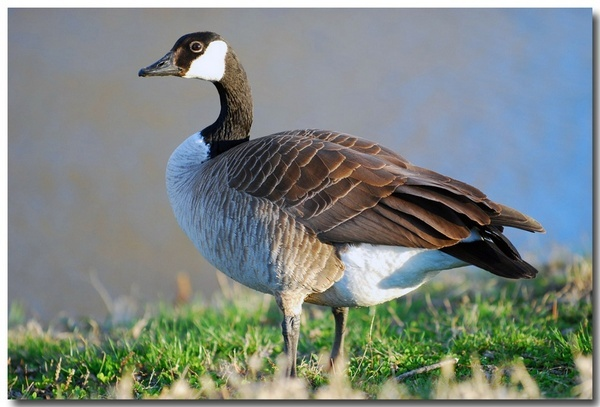 Goose Eye Contact by Xxticy