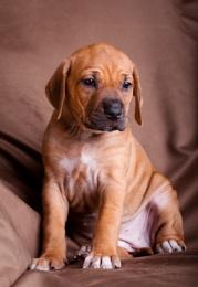 Ridgeback Pup