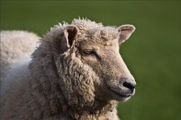 sheep by ducatifogarty
