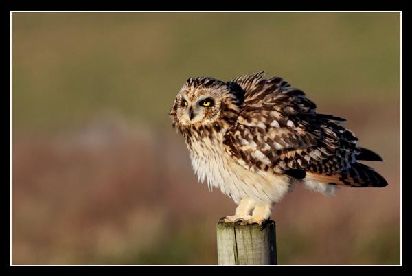 Short Eared Owl by jaymark1