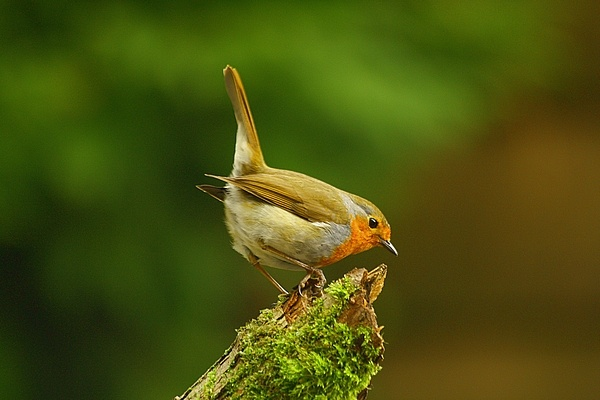 Robin on the Search by LeonSLR