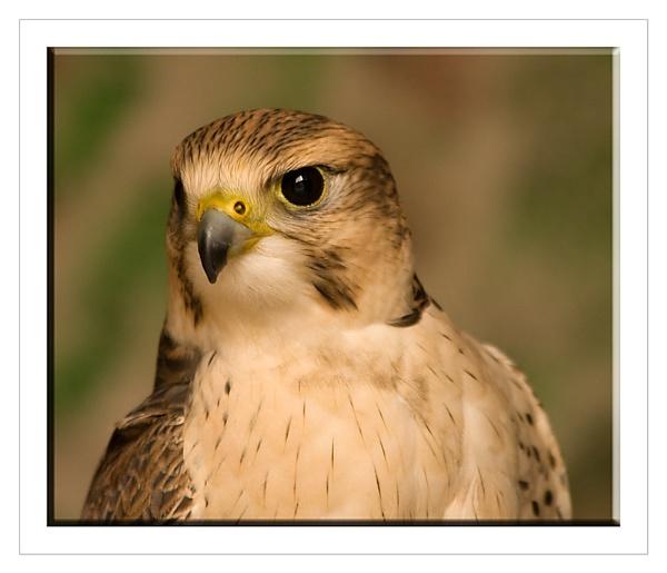Saker Falcon by SoulOfNature