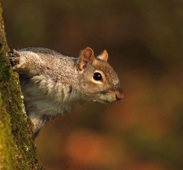 Grey Squirrel by iancam