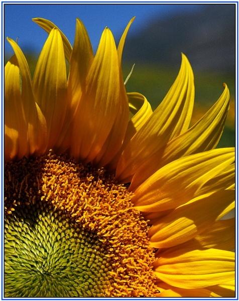 Sunflower by maryg