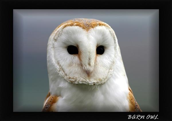 My first Barn Owl by SteveMoulding