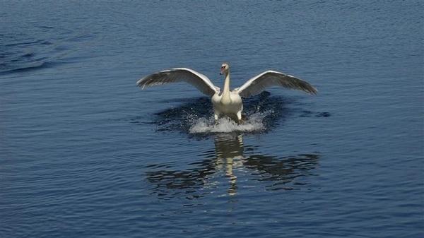 Mute swan landing by elf69