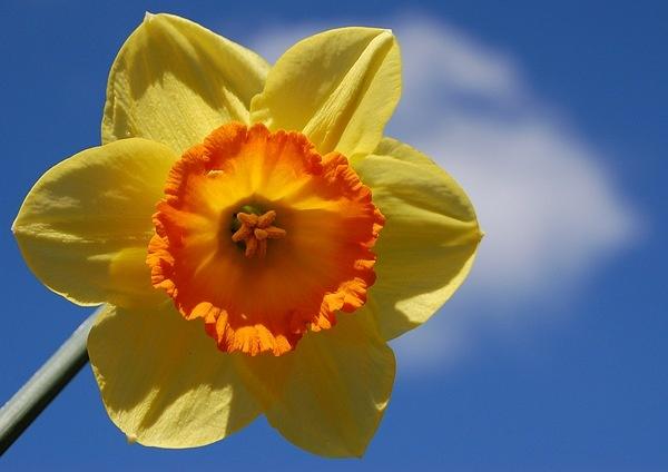 Tulip by Rachel99