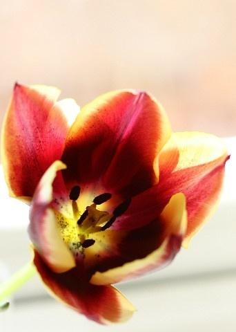 Tulip by mikaela4
