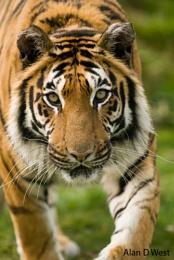 WHF Tiger