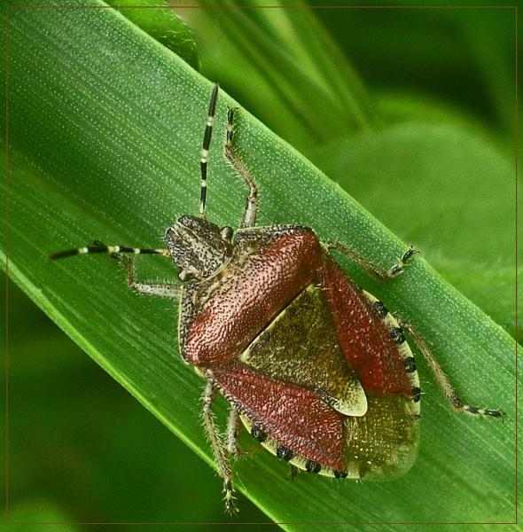 crimson shield bug by CarolG