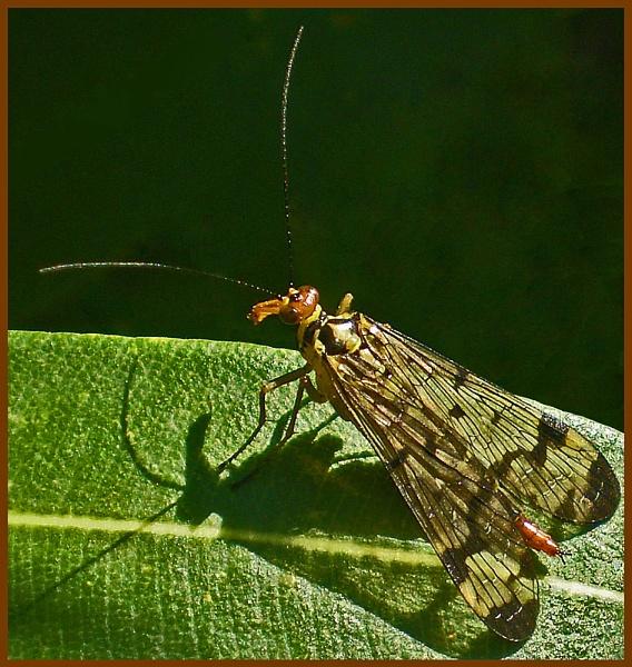 scorpion fly by CarolG