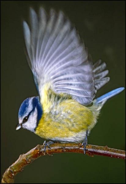 blue tit by bill78