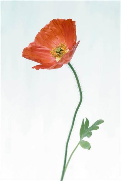 poppy by bill78