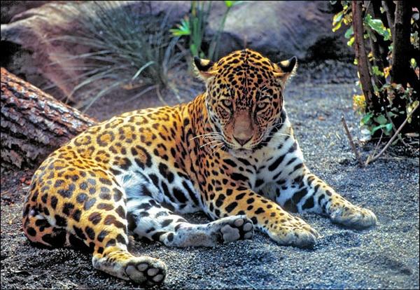 Jaguar by bill78