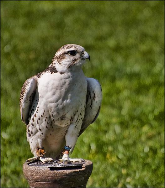 falcon by ducatifogarty
