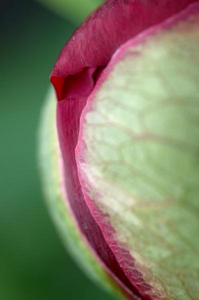 Peony Rose 1 by martin_hurton