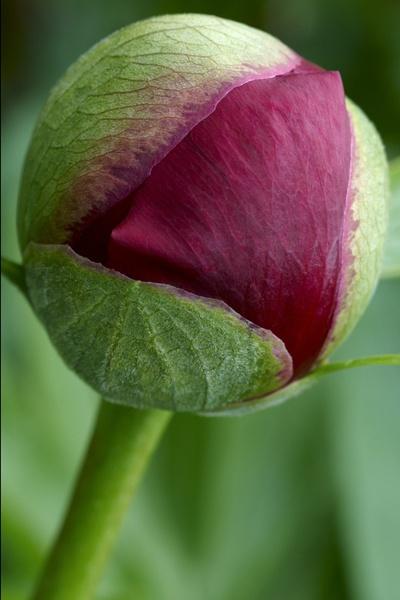 Peony Rose 2 by martin_hurton