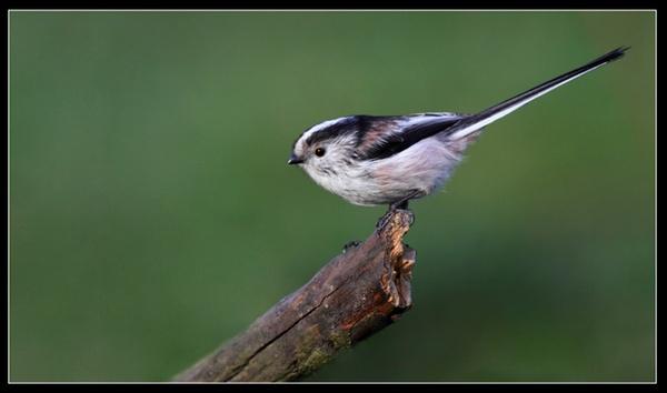 Long - tailed Tit   - Aegithalos Caudatus by jaymark1
