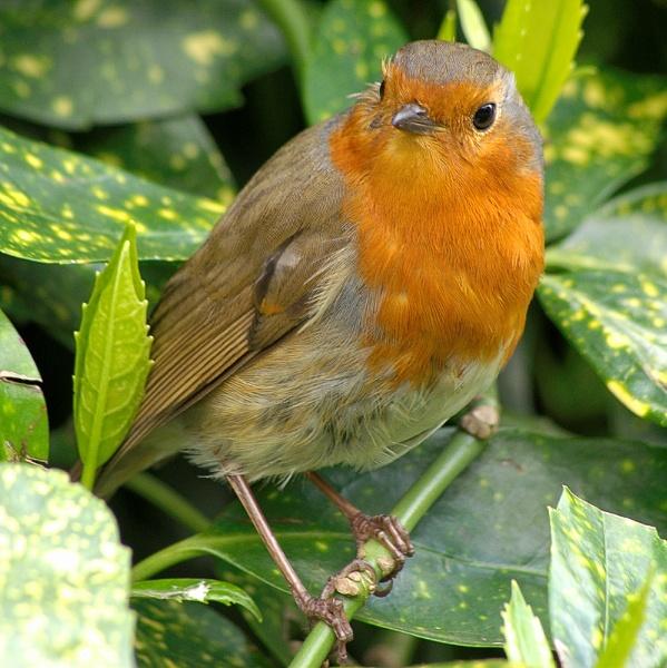 Robin by piotro