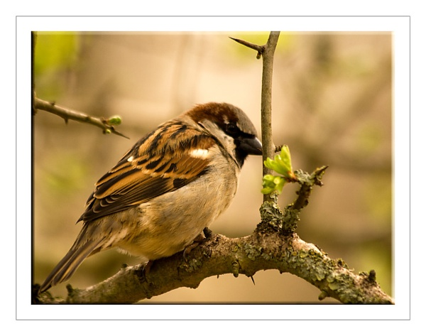House Sparrow by SoulOfNature