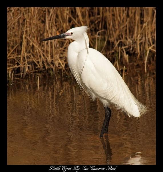 Little Egret by iancam