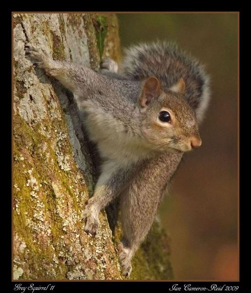Grey Squirrel 11 by iancam