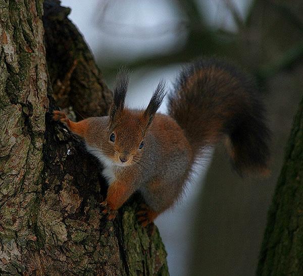 Red Squirrel by maratsuikka