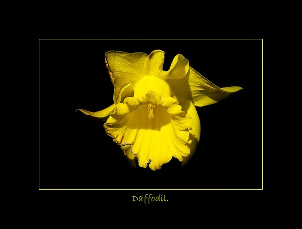 Daffodil. by Annie1998