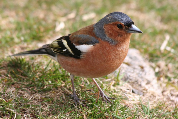 chaffinch by angelite