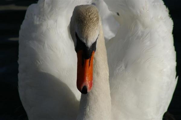 Mute swan head by elf69