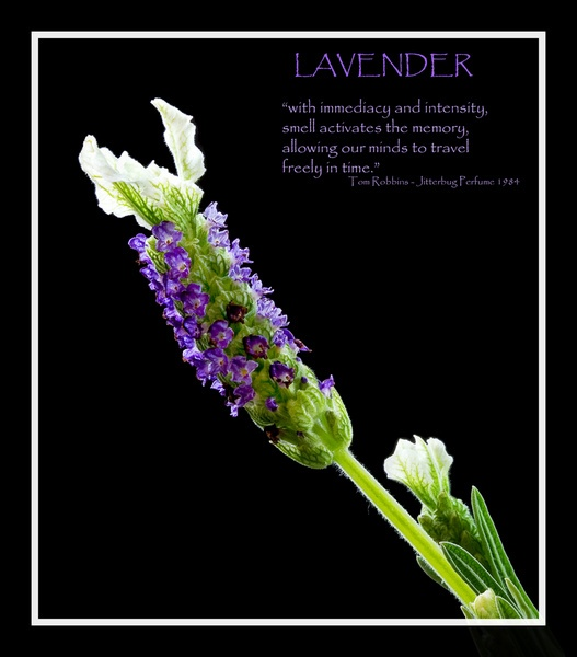 Lavender by MisterPooh