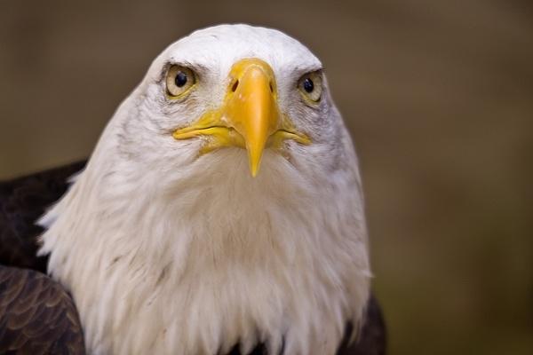 Bald Eagle Portait by paulrosser