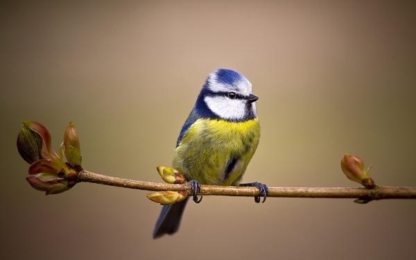 Blue Tit Vignette by paulrosser