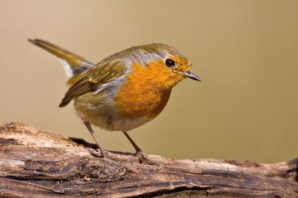 Mr. Robin by paulrosser