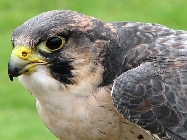 Hawk by DTsDonuts