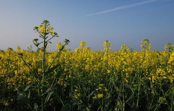 Rape Seed Field by tinareid1